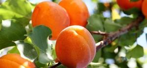 kak-posadit-abrikos-0